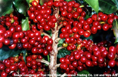 arabica-coffee-cherries